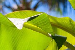 Textured bright fresh banana leaf closeup for background with backlight. Textured bright and shiny fresh banana leaf for background Royalty Free Stock Photos