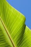 Textured bright fresh banana leaf closeup for background with backlight. Textured bright and shiny fresh banana leaf for background Stock Photography