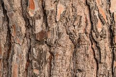 Textured brown bark of big south tree. Textured brown bark of big huge south tree royalty free stock photography