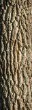 Textured deciduous tree bark Royalty Free Stock Images