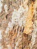 textured eucalyptus bark Stock Photo