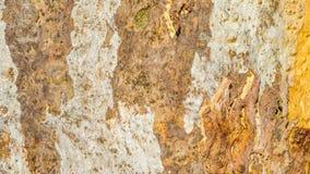 textured eukaliptus barkentyna zdjęcia stock