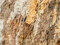 textured eukaliptus barkentyna zdjęcie stock