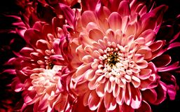 Textured flowers, chrysanthemums. Chrysanthemums on a dark backg. Round. Fiery Chrysanthemum Stock Image