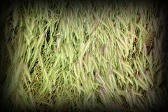 Textured grass inflorescences Royalty Free Stock Photo