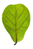 Textured green leaf Royalty Free Stock Photo