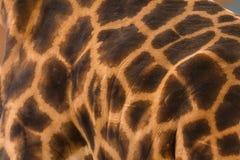 textured image of giraffe fur Stock Photos