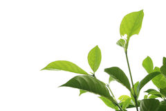 Textured: Isolated leaf and branch. With clipping path Stock Image
