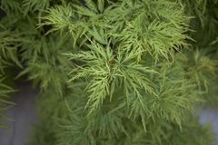 Green leaves close up of Acer palmatum stock photography