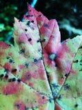 Textured maple leaf Stock Photos