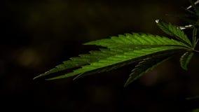 Textured marihuana li?cie s? imponuj?co Zielony b?g wszechmog?cy zbiory