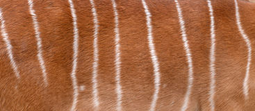 Textured of nyala fur Royalty Free Stock Images