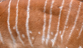 Textured of nyala fur Royalty Free Stock Image