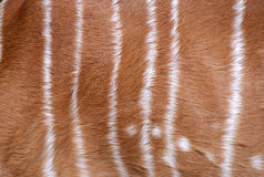 Textured of nyala fur Stock Photography