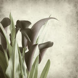 Textured old paper background. With darl purple calla lilies royalty free stock photo