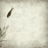 Textured old paper background. With Lavandula Stoechas (French lavender royalty free illustration