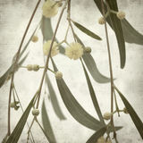 Textured old paper background. With acacia flowers stock image