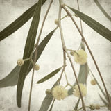 Textured old paper background. With acacia flowers stock photo