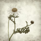 Textured old paper background. With canarian marguerite daisy royalty free stock image