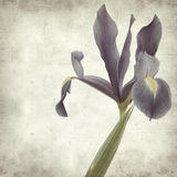 Textured old paper background. With dark pirple iris flowers Royalty Free Stock Photo
