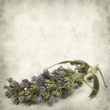 Textured old paper background. With  Echium callithyrsum, Blue bugloss of Gran Canaria, inflorescence Royalty Free Stock Images