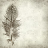 Textured old paper background. With Guineafowl feather Stock Image