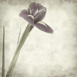 Textured old paper background with iris Royalty Free Stock Image