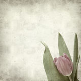 Textured old paper background. With magenta tulip Stock Image