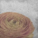 The textured old paper background with pale orange ranunculus, persian buttercup Stock Photos