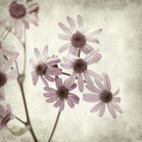 Textured old paper background. With Pericallis webbii plant, endemic to Gran Canaria stock illustration