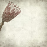Textured old paper background. With pink protea flower Stock Photos