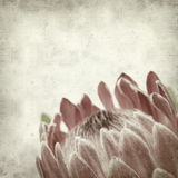 Textured old paper background. With pink protea flower Stock Images