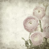 Textured old paper background with  ranunculus. Textured old paper background with  pink ranunculus (persian buttercup Royalty Free Stock Images