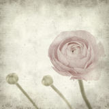 Textured old paper background with  ranunculus. Textured old paper background with  pink ranunculus (persian buttercup Royalty Free Stock Photos