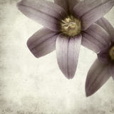Textured old paper background. With Romulea columnae grandiscapa Stock Photo