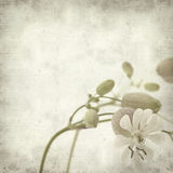 Textured old paper background. With Silene vulgaris, or bladder campion Royalty Free Stock Photography