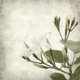 Textured old paper background. With white jasmine flower Royalty Free Stock Image