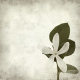 Textured old paper background. With white Natal Plum flower Stock Images