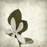 Textured old paper background. With white Natal Plum flower Stock Photography