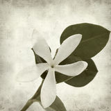 Textured old paper background. With white Natal Plum flower Stock Image