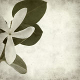 Textured old paper background. With white Natal Plum flower Stock Photo