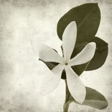 Textured old paper background. With white Natal Plum flower Royalty Free Stock Photography
