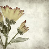 Textured old paper background. With yellow and red chrysanthemum Stock Images
