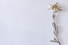 Textured paper background with dried edelweiss flower, horizonta Royalty Free Stock Image