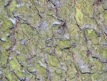 Textured powierzchnia barkentyna drzewo z śniegiem Obrazy Royalty Free