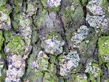Textured powierzchnia barkentyna drzewo z śniegiem Obraz Royalty Free