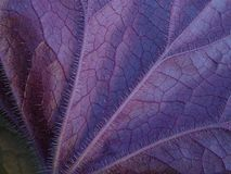 Textured Purple Underside of Heuchera Leaf in Macro. Close-up of veins of new coral bells (Heuchera circus) purple plant leaf in spring. Image created in Royalty Free Stock Image