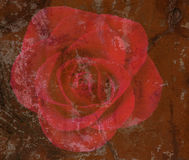 Textured Red rose Stock Photos