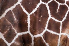Textured skin of giraffe Stock Images