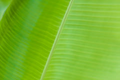 Textured smooth fresh banana leaf closeup for background. Textured bright and shiny fresh banana leaf for background Stock Photo